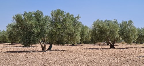 Olive Trees near the Centre of spain